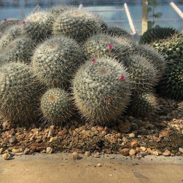 Kaktusy - Ogród Botaniczny